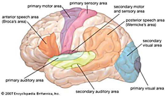 brainAreas